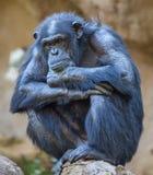 Slut upp av en gammal schimpans Royaltyfri Bild