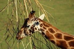 Slut upp av en giraff Royaltyfri Fotografi