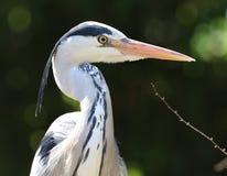 Slut upp av en Grey Heron som söker efter mat royaltyfri bild