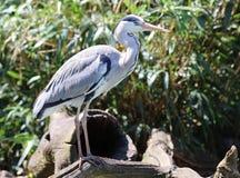 Slut upp av en Grey Heron som söker efter mat arkivfoto
