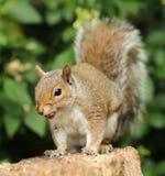 Slut upp av en Grey Squirrel royaltyfria bilder