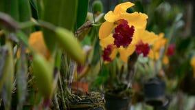 Slut upp av en härlig gul blomning för orkidé` s i trädgård lager videofilmer