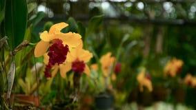 Slut upp av en härlig gul blomning för orkidé` s i trädgård stock video