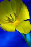 Slut upp av en härlig gul tulpan Arkivfoton