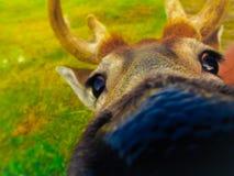 Slut upp av en hjort Royaltyfria Bilder