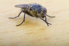 Slut upp av en husfluga Arkivfoto