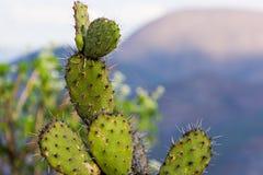 Slut upp av en kaktus Arkivbild