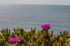 Slut upp av en kust- jordräkningsväxt som blommar i vår Royaltyfria Foton