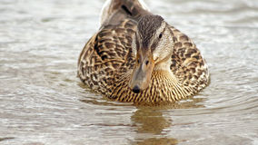 Slut upp av en kvinnlig simning för gräsandand på lugna vatten Royaltyfri Bild