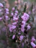 Slut upp av en lavendelblomma royaltyfri fotografi