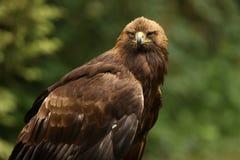 Slut upp av en manliga guld- Eagle Arkivbilder