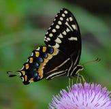 Slut upp av en matande Swallowtail Arkivfoton