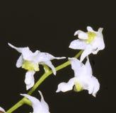 Slut upp av en mycket liten orkidéblomma Arkivbilder
