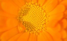 Slut upp av en orange blomma Fotografering för Bildbyråer