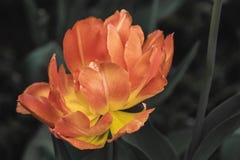 Slut upp av en orange blomma royaltyfri fotografi