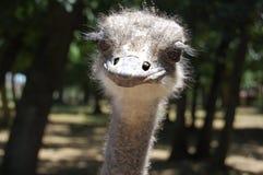 Slut upp av en Ostrich royaltyfri fotografi