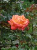 Slut upp av en persika färgad rosa oavkortad blom royaltyfri bild
