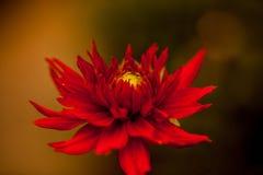 Slut upp av en röd blomma #2 Royaltyfri Fotografi