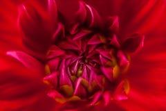 Slut upp av en röd blomma #4 Fotografering för Bildbyråer
