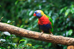Slut upp av en regnbåge Lorikeet (Trichoglossushaematodusen) Royaltyfri Fotografi