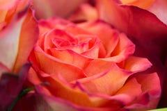 Slut upp av en ros arkivbilder