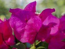 Slut upp av en rosa bougainvilleablomma arkivbilder