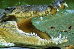 Slut upp av en saltvattens- krokodil Arkivfoton