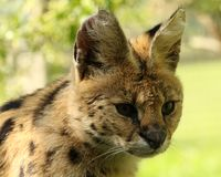 Slut upp av en serval Royaltyfri Foto