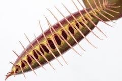 Slut upp av en stängd venusflugafälla & x28; Dionaeamuscipula& x29; på en whi Royaltyfria Bilder