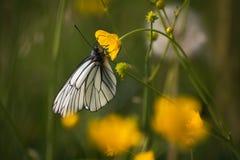 Slut upp av en stor vit fjäril Arkivbilder