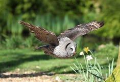 Slut upp av en stora Grey Owl i flykten royaltyfri bild