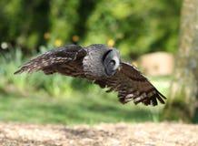 Slut upp av en stora Grey Owl i flykten arkivbild