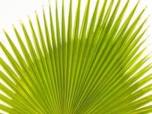 Slut upp av en tropisk palmträd Abstrakt begrepp gömma i handflatan textur för naturbakgrund Royaltyfri Bild