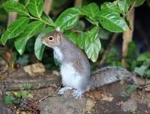 Slut upp av en unga Grey Squirrel royaltyfria bilder