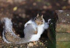 Slut upp av en unga Grey Squirrel royaltyfri bild