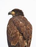 Slut upp av en unga skalliga Eagle Fotografering för Bildbyråer