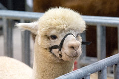 Slut upp av en vit Alpaca Royaltyfria Bilder