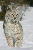 Slut upp av en wild bobcat Fotografering för Bildbyråer