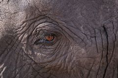 Slut upp av ett elefant?ga royaltyfri foto