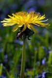 Slut upp av ett gult blommalodlinjeskott Fotografering för Bildbyråer