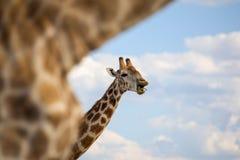 Slut upp av ett huvud för giraff` som s gör en lycklig och rolig framsida royaltyfri bild