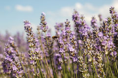 Slut upp av ett lavendelfält med ett honungbi som lämnar precis en blomma Royaltyfri Foto