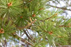 Slut upp av ett sörjaträd Royaltyfri Foto