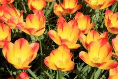 Slut upp av färgrika tulpan i vår Fotografering för Bildbyråer