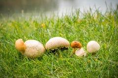 Slut upp av flera svamp i rad på grönt höstgräs, härlig selektiv fokus Royaltyfria Bilder
