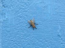 Slut upp av flugan på den blåa väggen Arkivbild