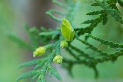 Slut upp av frö av den vintergröna busken av den unga thujaen fotografering för bildbyråer