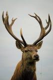 Slut upp av fullvuxna hankronhjorten för röda hjortar Arkivfoto