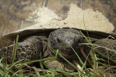 Slut upp av goffersköldpaddan royaltyfri bild