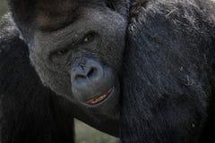 Slut upp av gorillan Royaltyfri Bild